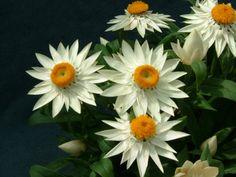 Paper Daisies: Perennials