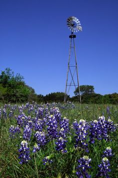 """Windmill and Bluebonnets """"Gardening Tips for the Texas Coastal Bend in March"""" 