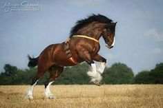 Gorgeous draft horse....feathers so maybe Gypsy....