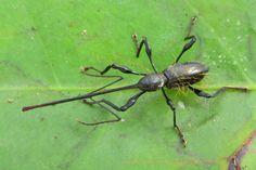 Hammatostylus sp, long-snouted weevil
