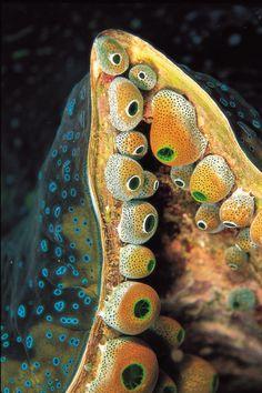 Urn sea squirt (Didemnum molle)