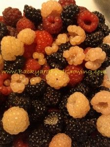 How to Grow Raspberries in Containers - Backyard Food Growing