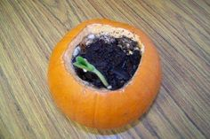 The pumpkin decomposes before the seeds can spout. :( Science - Open up the pumpkin, add a little soil and water, and watch the seeds (which are already inside the pumpkin) grow. // FUN - need to remember this for next year! Fall Crafts, Holiday Crafts, Holiday Fun, Crafts For Kids, Diy Crafts, Plant Crafts, Holiday Quote, Thanksgiving Holiday, Christmas