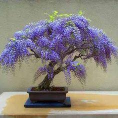Wisteria seeds, bonsai Wisteria sinensis tree 100% true seed in-kind shooting, 20 pcs / bag