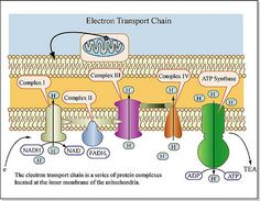 The Electron Transport Chain Cell Biology, Ap Biology, Science Biology, Science Facts, Teaching Science, Electron Transport Chain, Photosynthesis Activities, Cell Respiration, Science Cells