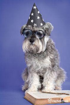 Jasper (Miniature Schnauzer) - Japser is a rising star Miniature / Standard / Giant #Schnauzer #Puppy #Dogs