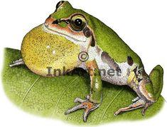 Ornate Chorus Frog (Pseudacris ornata) Line Art and Full Color Illustrations Frog Frog, Illustration Art, Illustrations, Stock Art, Frogs, Colour Images, Line Art, Art Drawings, Wildlife