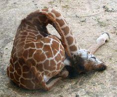 Sleeping baby giraffe!