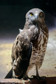 """""""Snake Specialist"""", fotografía de un Águila Culebrera Europea en el VigoZoo."""