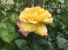 Yellow Rose! Garden Roses, Yellow Roses, Beautiful Roses, Bloom, Flowers, Plants, Pictures, Photos, Plant