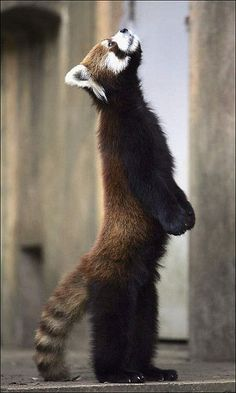 Anybody there?  Lesser Panda Stands On Hind Legs In Japan Zoo by Koichi Kamoshida