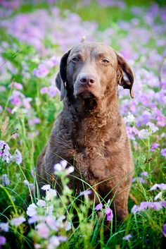"""""""Chesapeake Bay Retriever"""" ---- [Photograph by KerrieT - May 29 2010]'h4d'120903"""