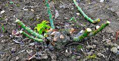 A venit primăvara! Asparagus, Vegetables, Garden, Plant, Studs, Garten, Lawn And Garden, Vegetable Recipes, Gardens