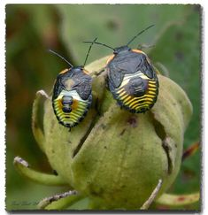cool looking strange bugs Plant Insects, Bugs And Insects, Shield Bugs, Cool Bugs, A Bug's Life, Beetle Bug, All About Animals, Lizards, Reptiles