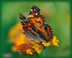 Photograph Butterfly on Lantana by Mark Luftig on 500px