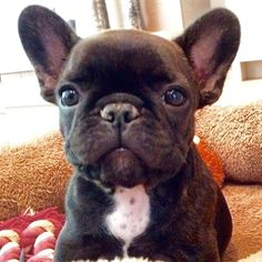 So cute: frenchie doggie