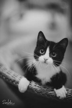 cute black and white tuxedo kitten, paws over edge of basket, in B&B's