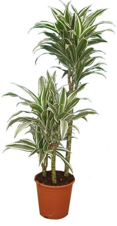 1000 images about plantes de bureau on pinterest bureaus crassula ovata and interieur - Plante depolluante bureau ...