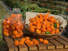 The Best Spicy Habanero Hot Sauce Recipe - Going to have to make this with the Ghost Peppers we grow