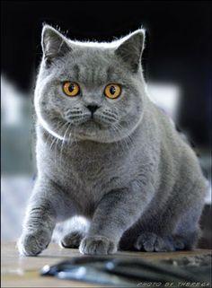 British Shorthair Bl British Blue Cat