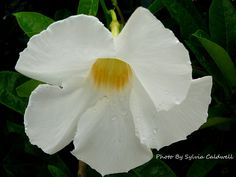 White mandevilla shrub flowers and gardens lovely white mandeville flowering vine and pink also row awesome mightylinksfo