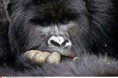 Africa | Male Mountain gorillas in Virunga National Park, Democratic Republic Congo | ©Christian Kaiser
