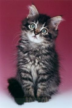 Silkiestar Siberian Cats and Siberian Kittens  Hypo-allergenic and just beautiful.