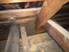 Carpenter Bees Sting #carpenterbees #bumblebee