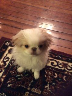Aiko :) Aiko, Puppies, Dogs, Animals, Animales, Puppys, Animaux, Pet Dogs, Doggies