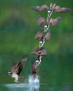 Photographer Captures Incredible Shots Of Osprey in Mid-Hunt Dive Bird People, Most Beautiful Birds, Bird Wings, Creature Feature, Birds Of Prey, Little Birds, Nature Pictures, Pet Birds, Animals And Pets