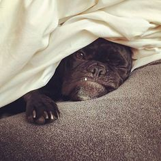 """I am NOT coming out today!"", lazy French Bulldog"