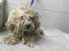 UPDATE: THIS BABY HAS BEEN SHAVED DOWN.  #A475186 Release date 11/6 I am a female, white Poodle - Miniature mix. Shelter staff think I am about 3 years old. I have been at the shelter since Oct 30, 2014. ...  City of San Bernardino Animal Control-Shelter. https://www.facebook.com/photo.php?fbid=10203855658409455&set=a.10203202186593068&type=3&theater