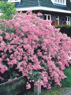 Reblooming Dwarf Josee Lilac Low Maintenance Landscaping, Low Maintenance Plants, Dwarf Lilac, Shrubs For Sale, Dutch Gardens, Syringa Vulgaris, Garden Solutions, Plant Lighting, Gardens