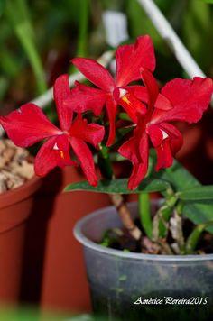 Orquídeas soltas: Cattleya bicolor x Sophronitis coccinea (Cattleya coccinea)