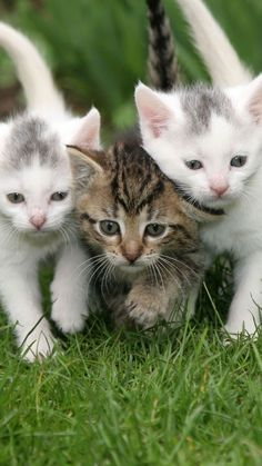 Three Adorable Kittens Doing Some Serious Exploring. Baby Kittens, Little Kittens, Kittens Cutest, Cats And Kittens, Cute Cats, Funny Cats, Cute Animal Pictures, Funny Cat Pictures, Animals Beautiful