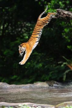 A gorgeous Tiger taking a leap, to see a Tiger all stretched out so can appreciate how beautiful this this giant cats really is WOW