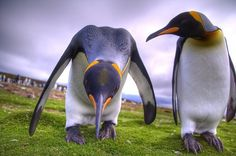 21 King Penguin pictures and Information - meowlogy Types Of Penguins, March Of The Penguins, Cute Penguins, Penguin Bird, King Penguin, Penguin Love, Funny Penguin, Penguin Parade, Penguin