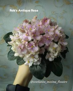 Rob's Antique Rose 05/23/1996 (R. Robinson) Semidouble silver-rose sticktite frilled pansy/darker shading, some silver-green tips. Dark green, pointed, glossy, serrated/red back. Semiminiature #RobsAntiqueRose #VioletBarn #AVSA #AfricanViolet #IndoorPlant #Houseplant #saintpaulia #senpolia #AfricanVioletLovers #fialka #AfricanVioletSocietyOfAmerict #SemiViolet #SemiMiniViolet Outdoor Plants, Air Plants, Saintpaulia, Green Tips, Growing Roses, Antique Roses, Silver Roses, Pansies, Houseplants