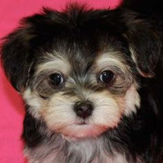 #morkie #dogs #cute   This one looks just like my Chloe Belle!  Just smaller!