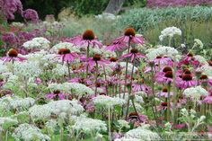 Echinacea and Selinum wallichianum. Trentham Estate. Piet Oudolf, garden designer. Ik heb Amni majus gebruikt, Selinum is ook mooi!