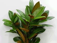 To cluster in corners at back counter  with other things. magnolia leaves - Google Search