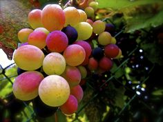 Here are many different shots I took of these beautiful grapes. . .