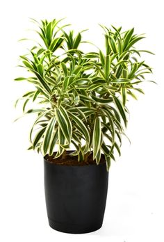 Dracaena reflexa (aka Song of India). I love this plant - easy to care for, the leaves are beautiful and glimmer if wiped down every two weeks, stalks are sturdy. Perfect Indoor House Plant. Mine did well on the patio last year. This year, not so much.....yet. Plant also is one the cleans the air naturally (we can all use that!)........