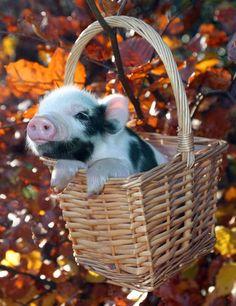Cute pig in a basket