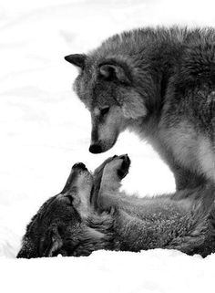 The wolf on top is a wolf of higher rank, showing its dominance. The wolf lying down is showing a passive submissive stance, due to its lower rank