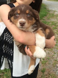 Advice first time Aussie owner   http://www.australian-shepherd-lovers.com/first-time-aussie-owner.html