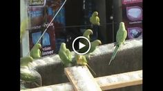 Video: Indian bird lover feeds hundreds of parrots daily