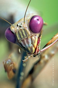 Praying mantis close-up. To think that Elizabeth 's violet eyes were beautiful.....they hadn 't seen mine