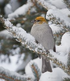 Pine Grosbeak in snow