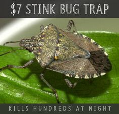 Once upon a time, there was a homeowner whose castle was completely overrun by stinkbugs. Yep, those black little crawling critters who kinda prop themselves up on all fours and give you an awkward salute when they're scared. Now, necessity being the mother of invention, this king of the castle invented a cheap, easy and …